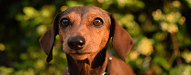 dachshund nola